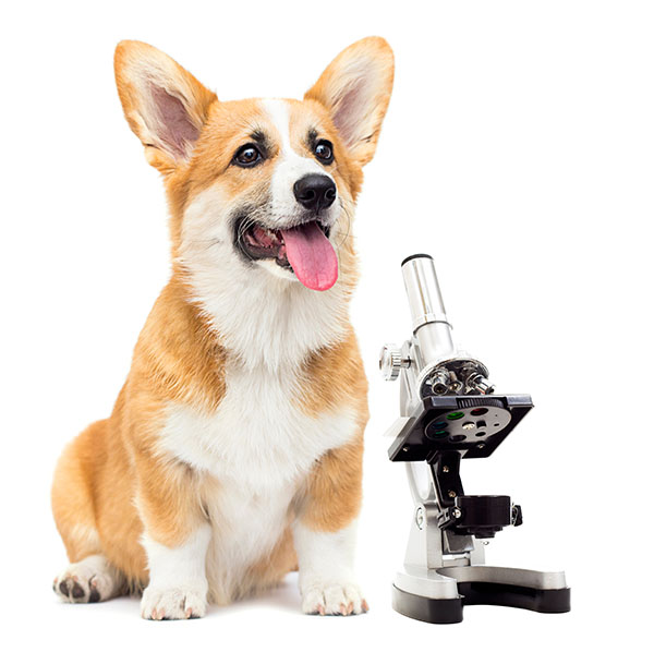 Corgi with microscope