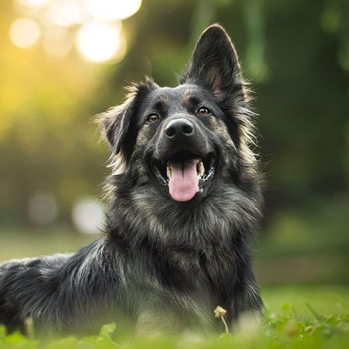 shepherd in sunlight on grass 1x1