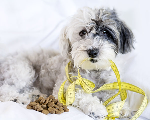terrier dog with tape measure and food